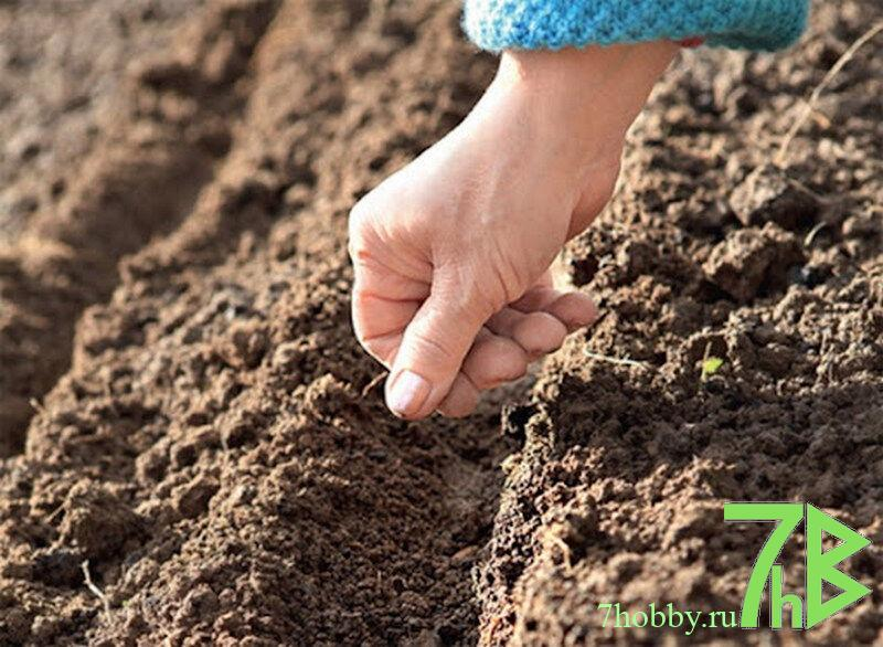 сеять семена щавеля